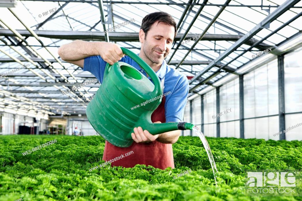 Stock Photo: Germany, Bavaria, Munich, Mature man in greenhouse watering parsley plants.