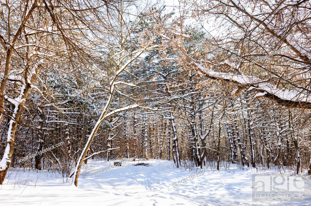 Stock Photo: Trees covered with snow in frozen winter forest.