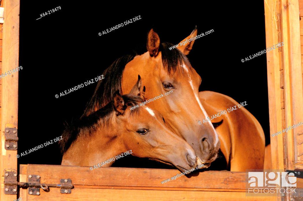 Stock Photo: Arabian horses.