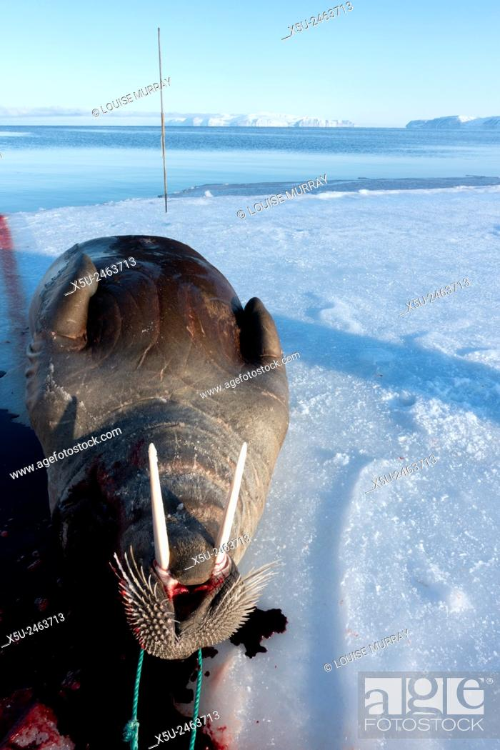 Adult Female Walrus Hunted Using Harpoon Near Qaanaaq Greenland Is