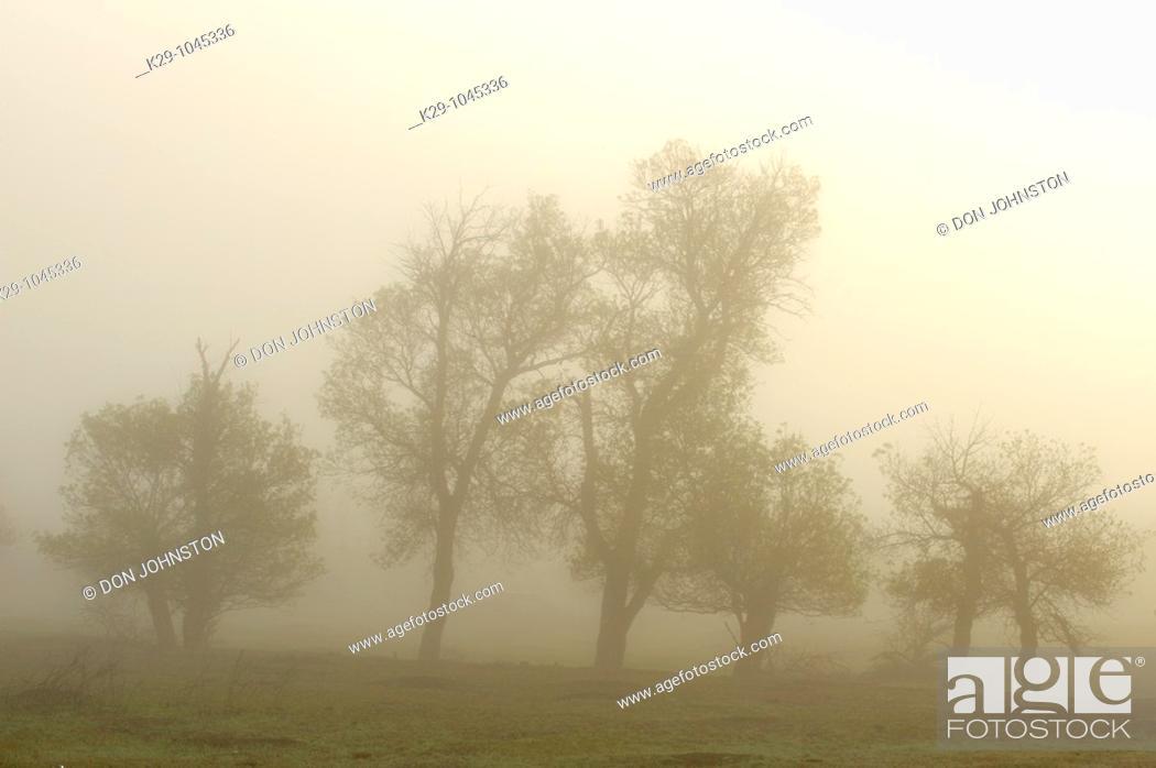 Stock Photo: Cottonwood trees in fog.