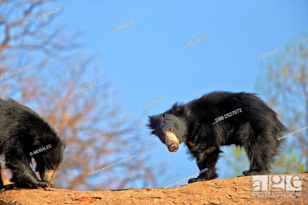 Stock Photo: Asia, India, Karnataka, Sandur Mountain Range, Sloth bear Melursus ursinus.