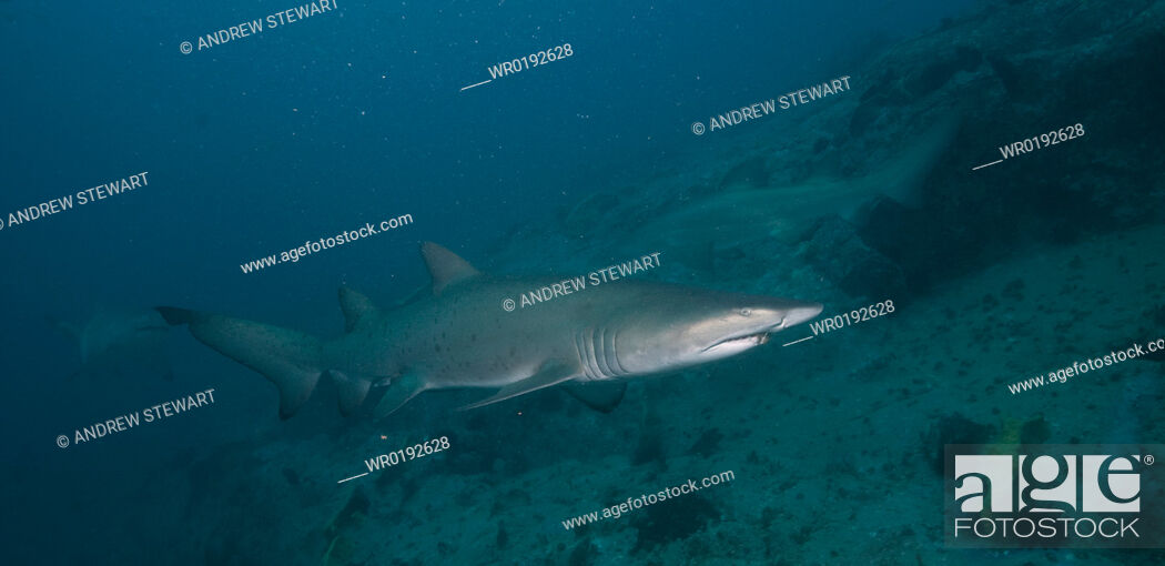 Imagen: Grey Nurse Shark Ginglymostoma cirratum South West Rocks, NSW, Australia.
