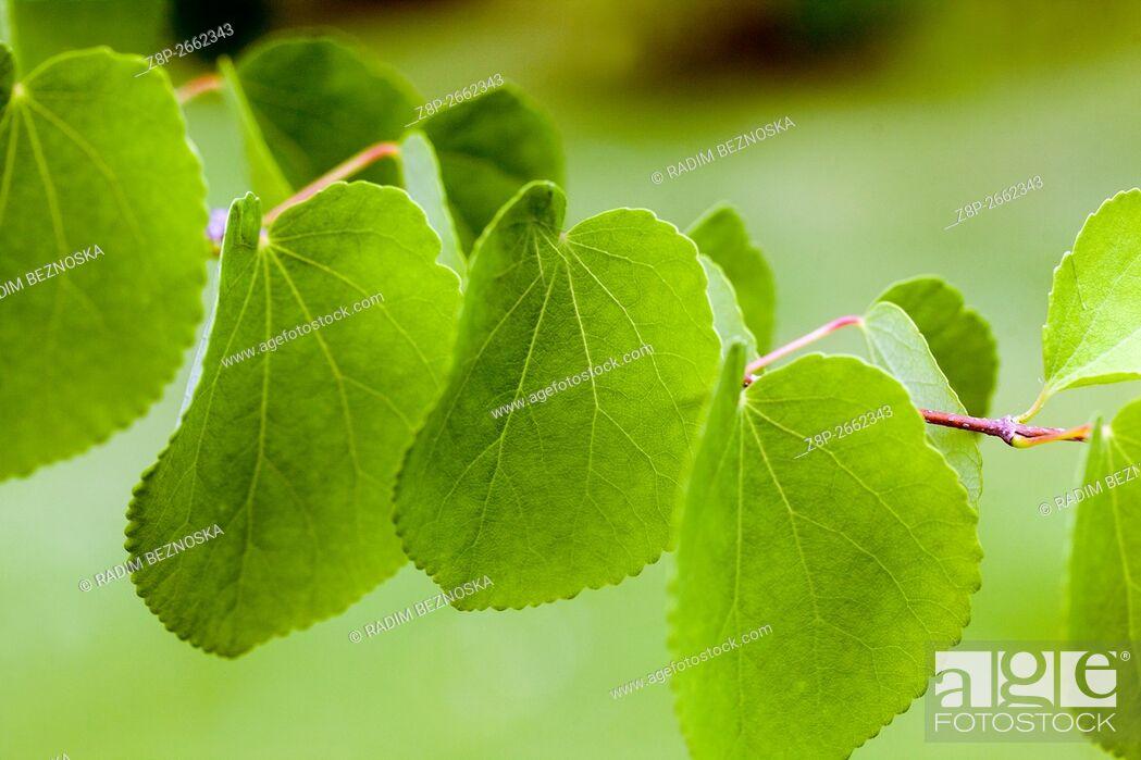 Imagen: Cercidiphyllum japonicum, twig and leaves.