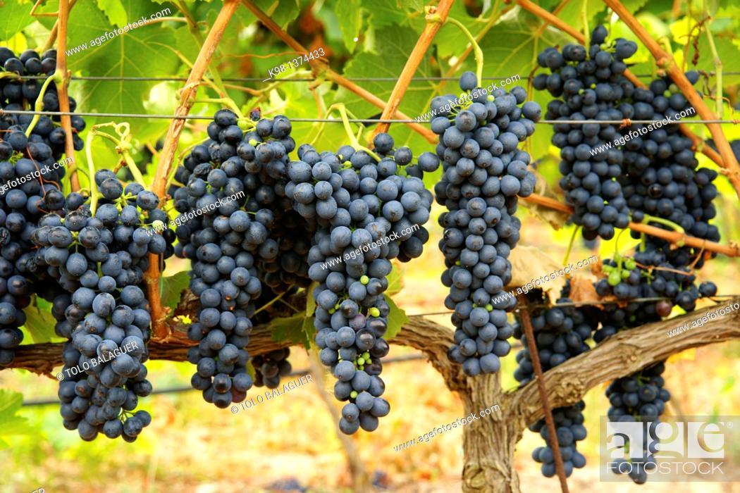 Stock Photo: Ecological bio vineyards of the winery Jaume Mesquida Porreres Es Pla Mallorca Illes Balears Spain.
