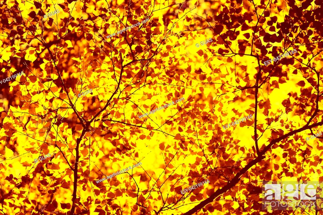 Stock Photo: Autumn sunny background, sunlight shines through yellow leaves of the tree.