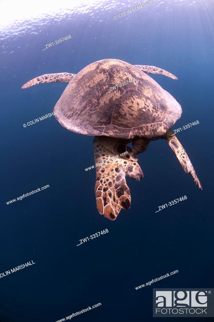 Stock Photo: Green Turtle (Chelonia mydas, Cheloniidae family) swimming, Midreef dive site, Sipadan Island, Sabah, Malaysia.