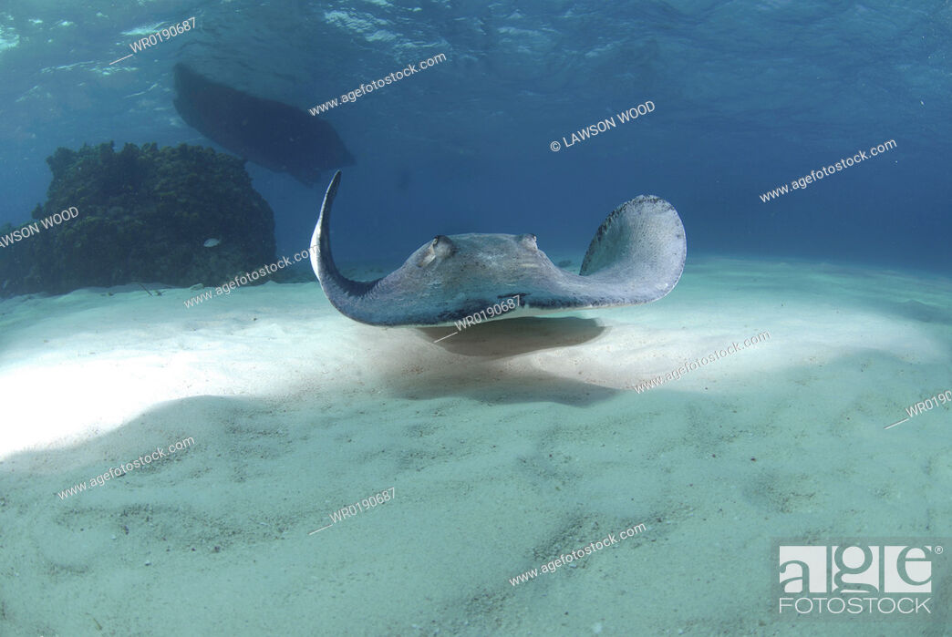 Stock Photo: Southern Stingray Dasyatis americana, swimming over sandy seabed, Cayman Islands, Caribbaen.