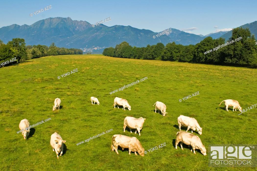 Stock Photo: cows grazing, Piano di Magadino, Canton Ticino, Switzerland.