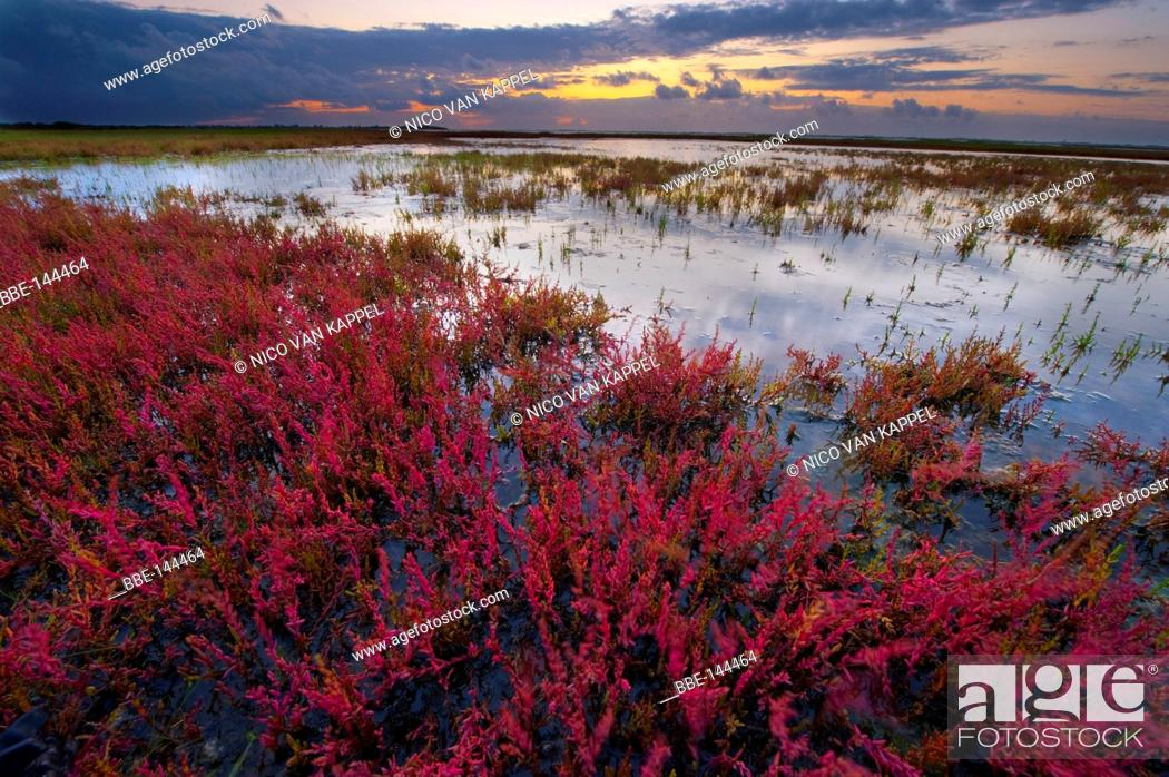 Stock Photo: the mud flats of the flakkee nature reserve during summer at sunset with glasswort turning red.