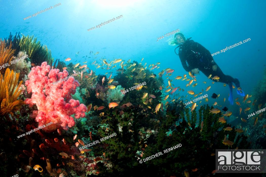 Stock Photo: Red Cheeked Anthias over Coral Reef, Pseudanthias huchtii, Ambon, Moluccas, Indonesia.