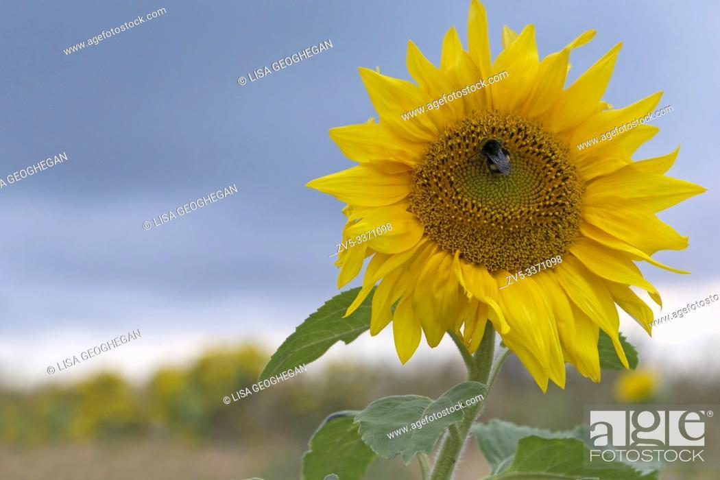 Stock Photo: Sunflower-Helianthus. UK.