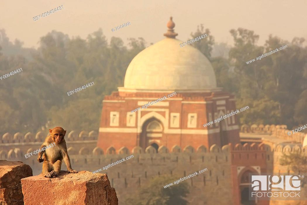 Stock Photo: Rhesus Macaque sitting at Tughlaqabad Fort, New De.