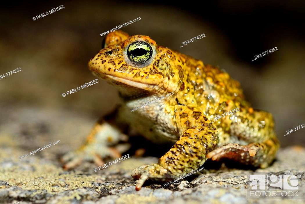 Imagen: Natterjack toad (Epidalea calamita) in Muxia, A Coruña, Spain.