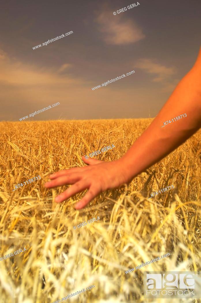 Stock Photo: Wheatfield and Farmer's Hand.