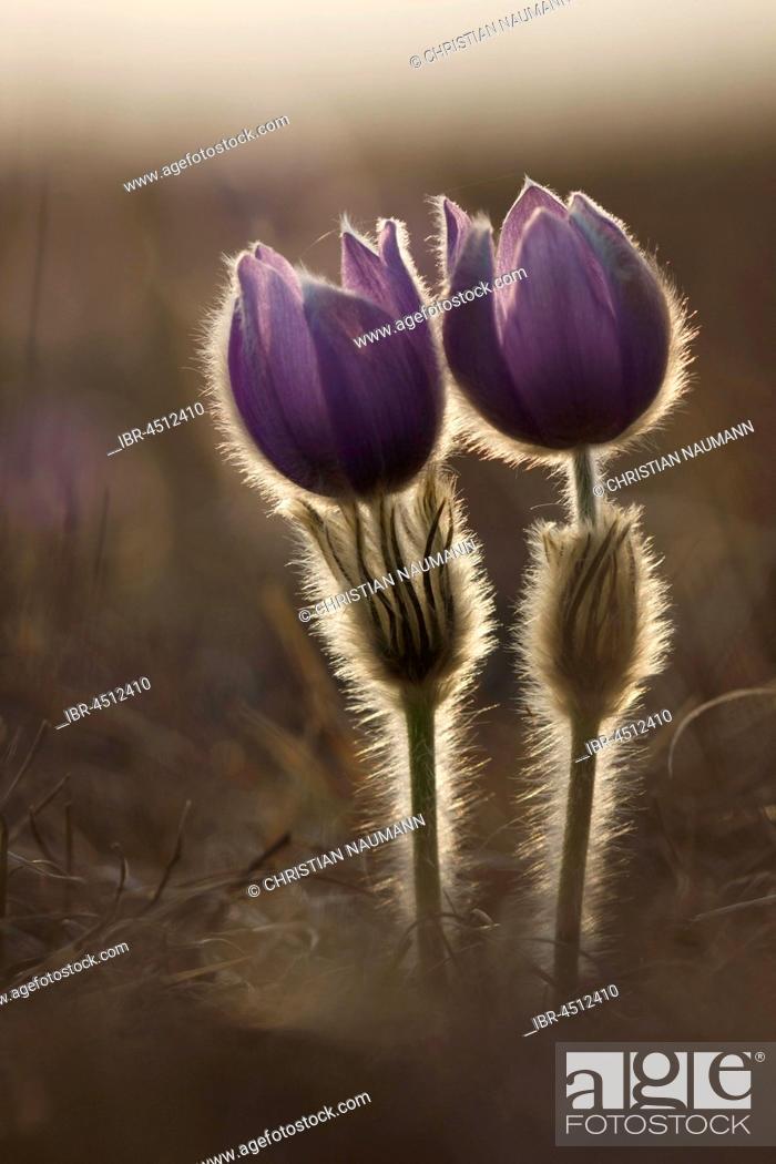 Stock Photo: Pasqueflowers (Pulsatilla vulgaris) in meadow, backlit, Hesse, Germany.