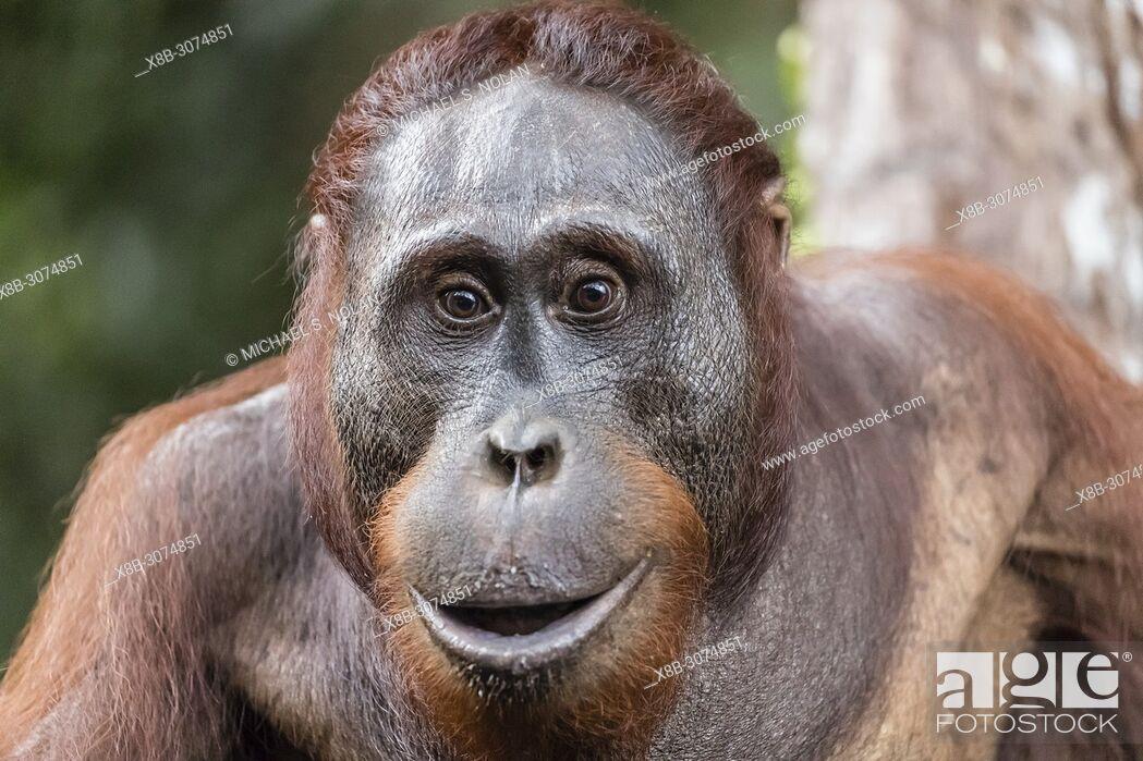 Stock Photo: Male Bornean orangutan, Pongo pygmaeus, at Camp Leakey dock, Borneo, Indonesia.