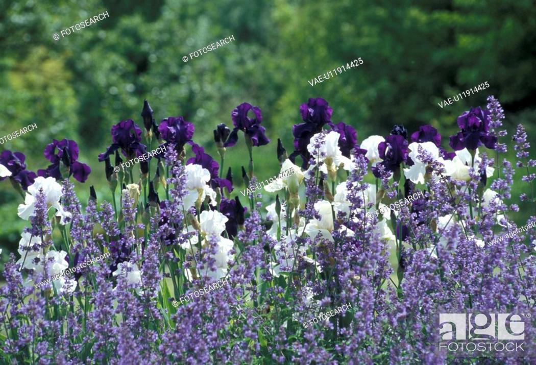 Stock Photo: Bernhard, bloom, cow, flower, garden, green.