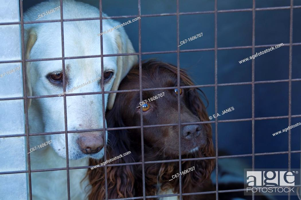 Stock Photo: Cocker Spaniel and Labrador on pheasant shoot.