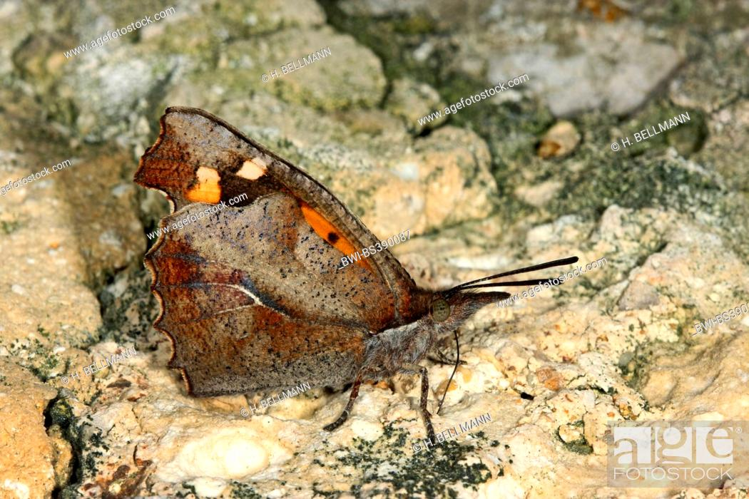 Stock Photo: European Beak, Nettle-tree Butterfly, Nettle tree butterfly (Libythea celtis), sits on a stone.