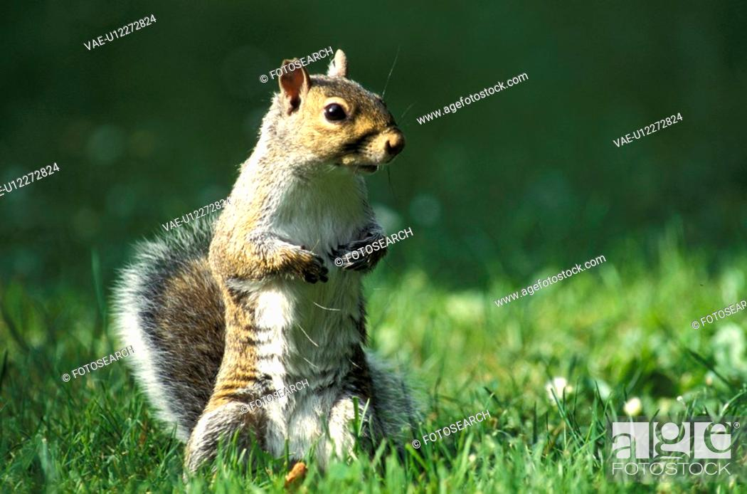 Stock Photo: hoernchen, animals, brown, Christian.