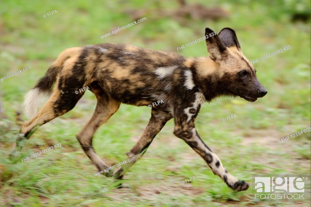 Stock Photo: African Wild Dog Lycaon pictus pup, running, Kwando Lagoon, Linyanti, Botswana.