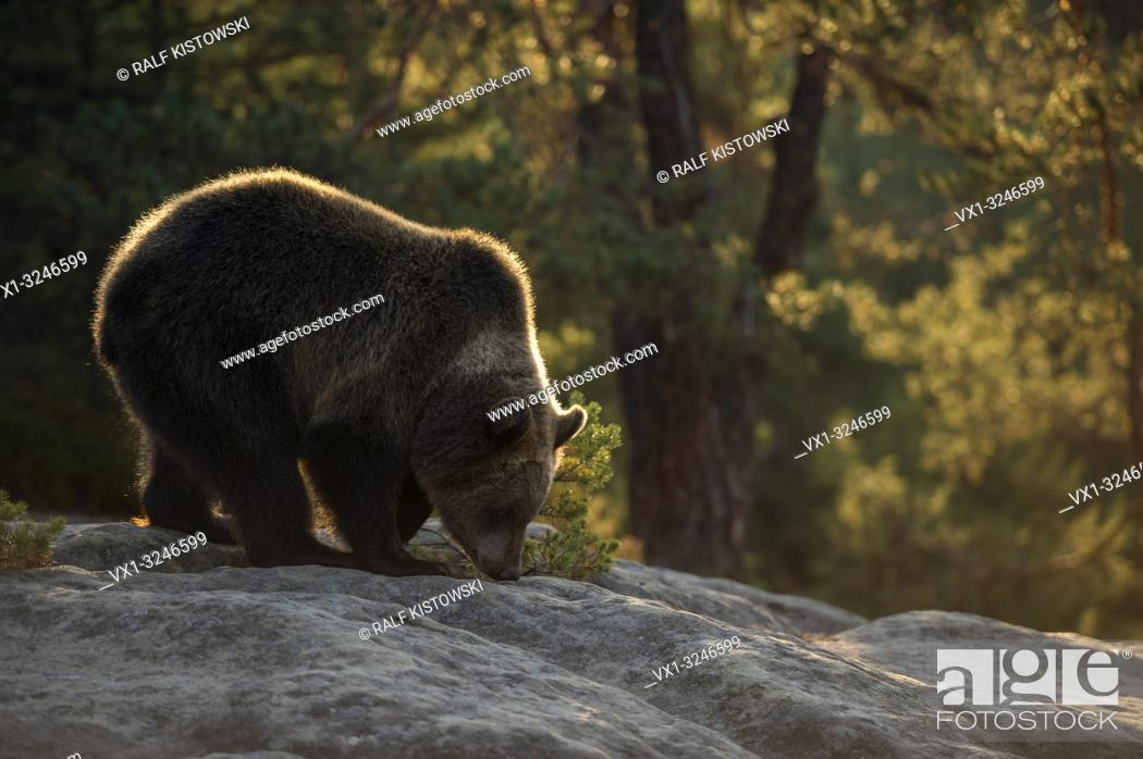 Imagen: Brown Bear / Braunbaer ( Ursus arctos ), young cub, standing on rocks on a clearing in a boreal forest, sniffing at the hround, warm morning light, Europe.