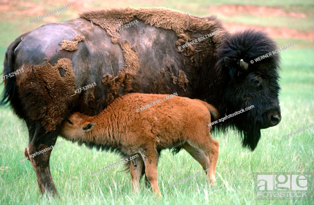Stock Photo: American Bison (Bison bison), cow and calf. Custer State Park, South Dakota, USA.