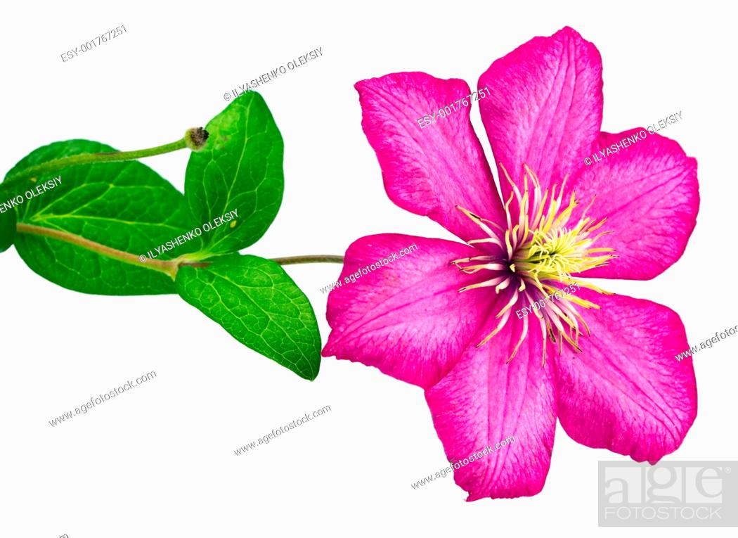 Stock Photo: clematis flower.