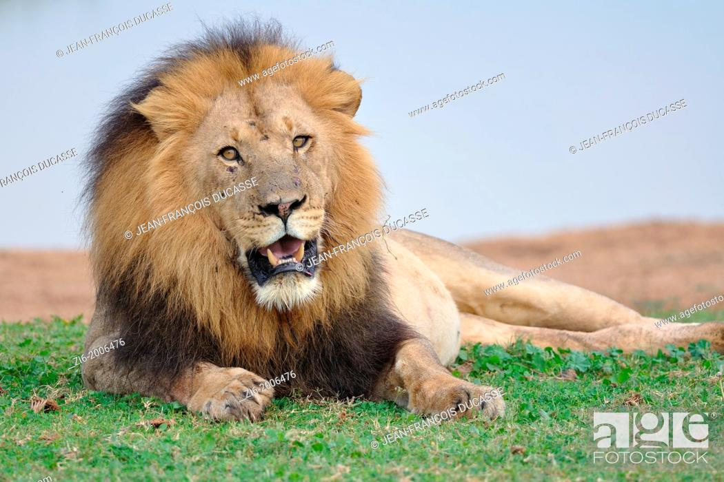 Stock Photo: Lion, Panthera leo, lying at the water hole, Addo Elephant National Park, Eastern Cape, South Africa.