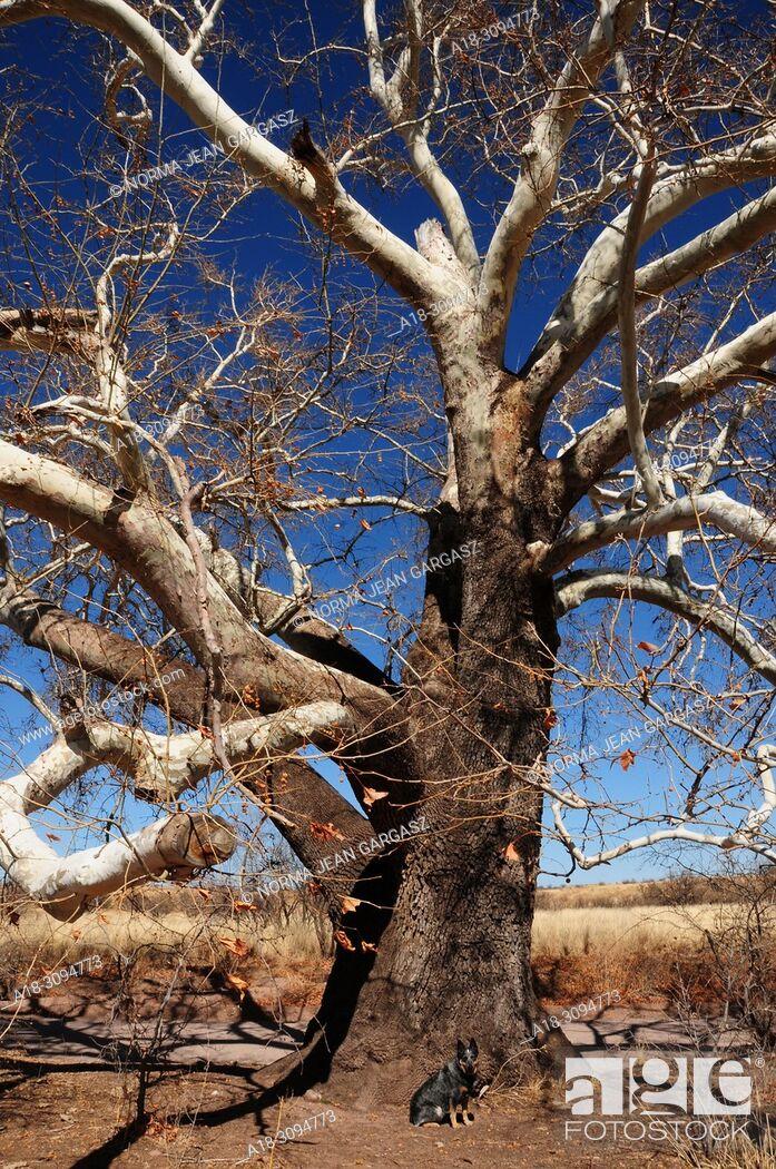 Stock Photo: A Blue Heeler sits by a sycamore tree along Gardner Canyon Road, Sonoita, Arizona, USA.