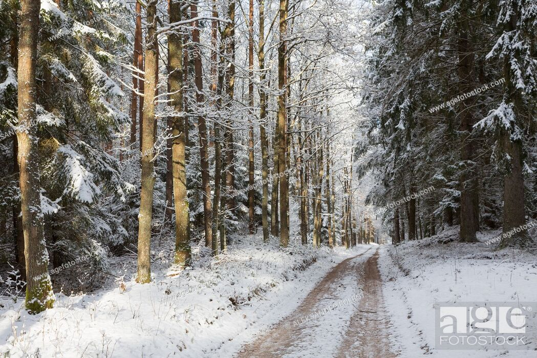 Stock Photo: Wide ground road in snow crossing coniferous stand in sunrise, Bialowieza Forest, Poland, Europe.