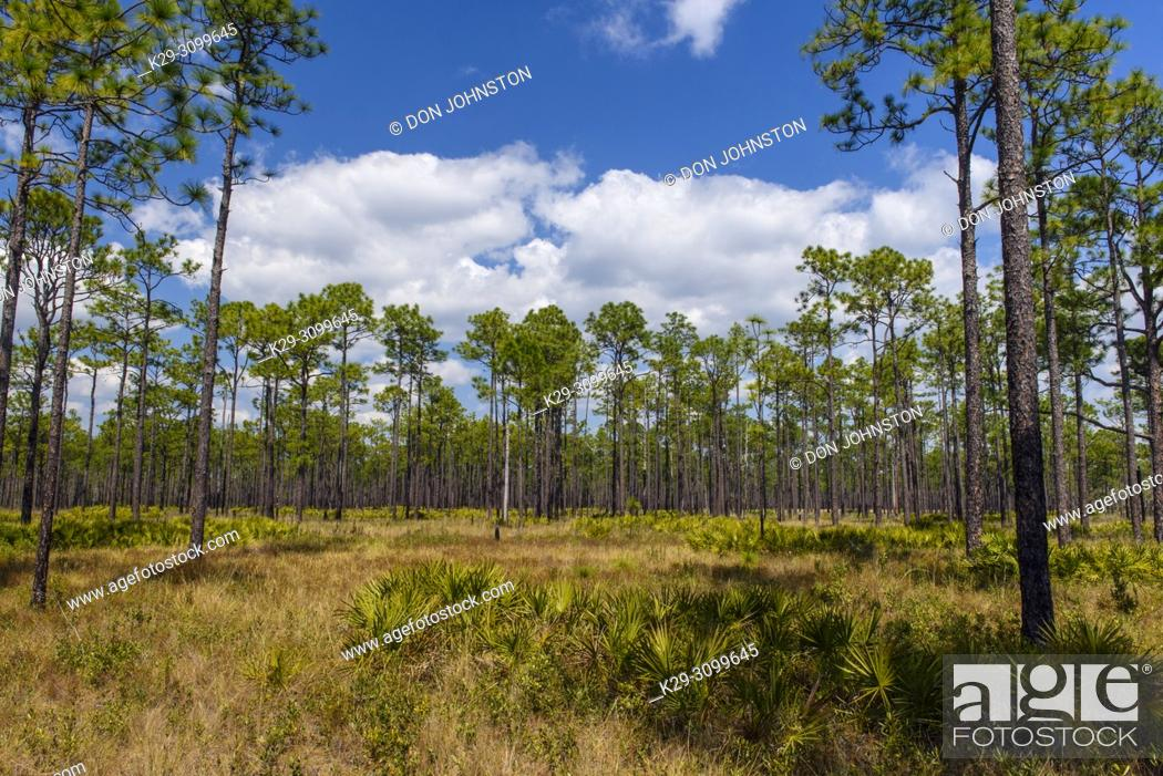 Stock Photo: Saw palmetto in the understory of a Long leaf pine woodland, Ochlockonee River State Park, Florida, USA.