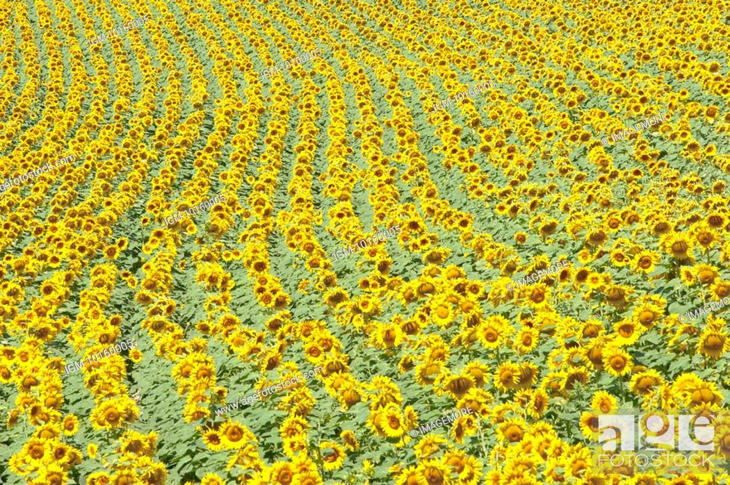 Stock Photo: Sunflower Field in France.