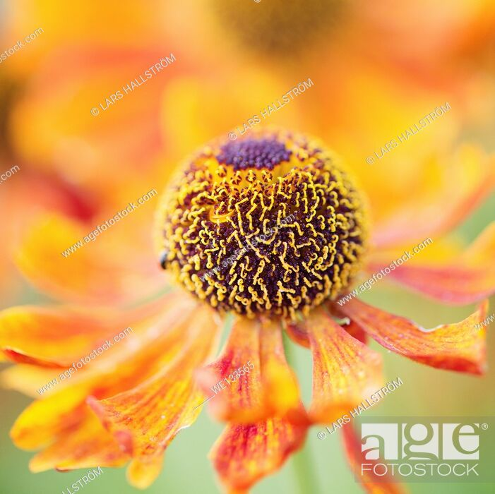Stock Photo: Tranquil summer nature scene, close up of flower in garden.