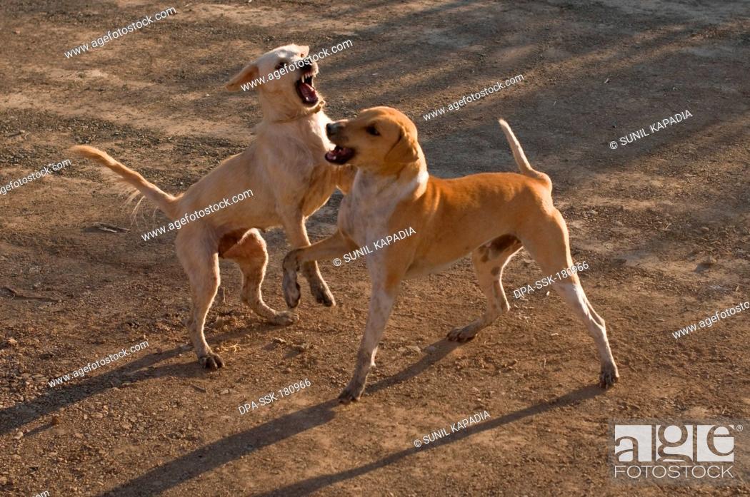 Stray dogs playing Pune Maharashtra India Asia Jan 2012