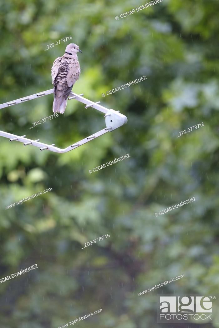 Imagen: Eurasian Collared-dove (Streptopelia decaocto) perched on antenna. Birds begin to occupy the empty spaces due to the lockdown caused by the COVID-19 pandemic.