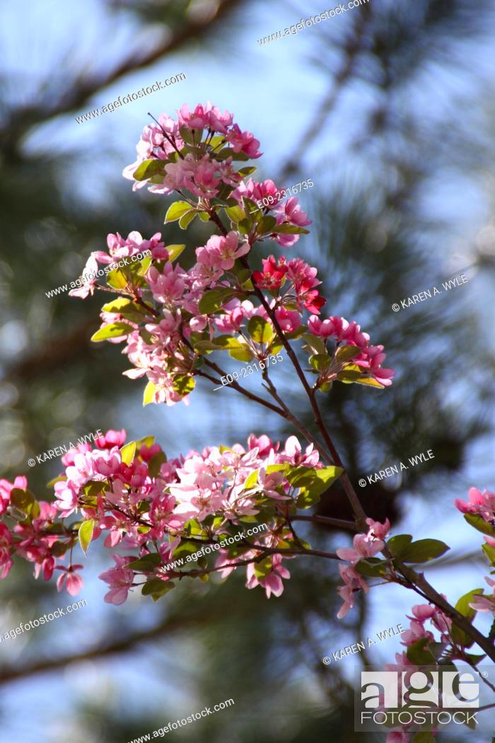 Imagen: pink fruit tree blossoms, Monroe County, IN.