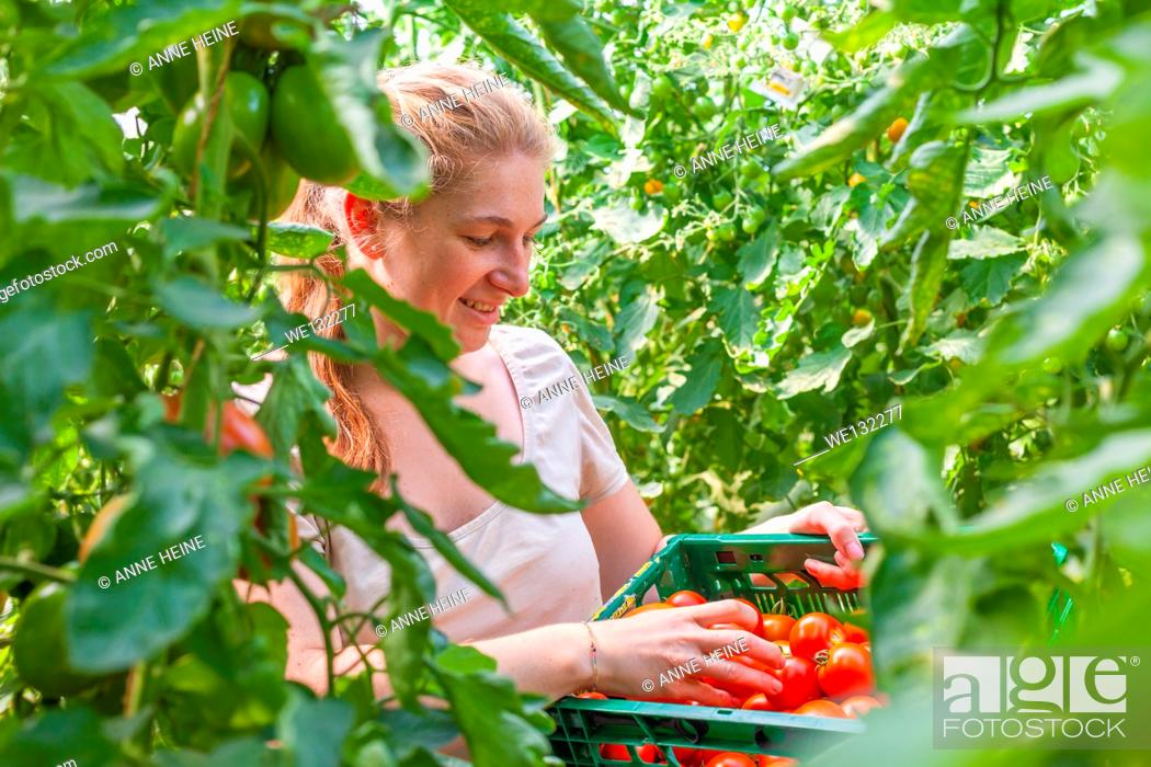 Stock Photo: Woman on organic farm harvesting tomatoes in greenhouse, germany.