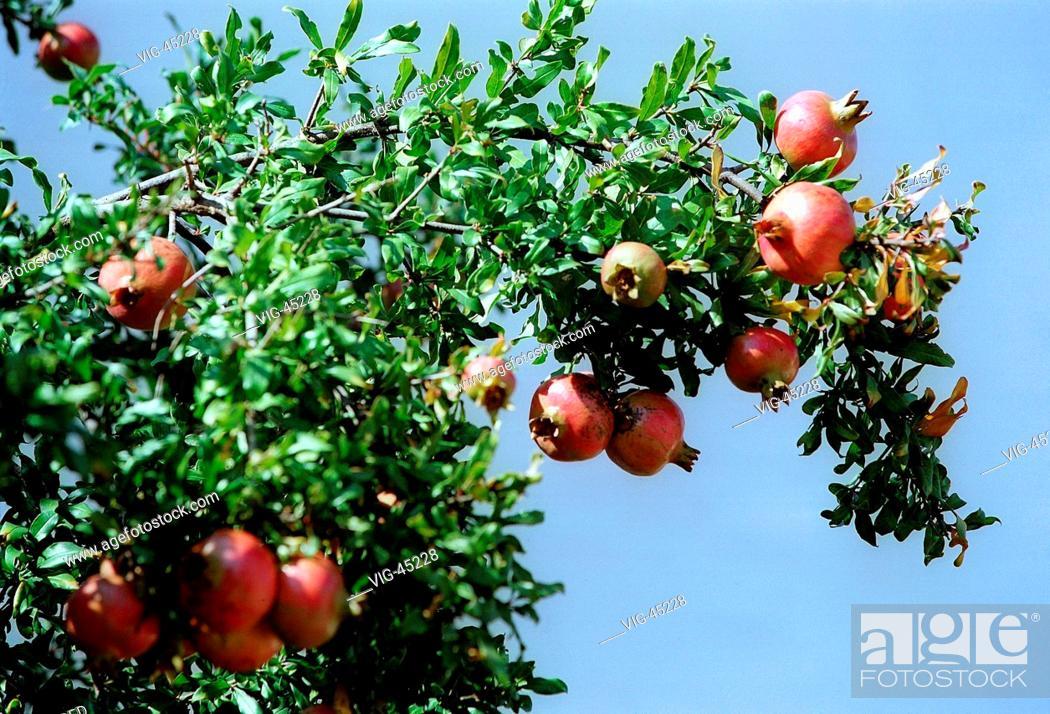 Stock Photo: Pomegranate ( Punica granatum ). - APHITOS, GRIECHENLAND, 15/09/2003.