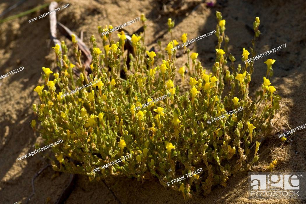 Stock Photo: Toadflax, Linaria bipunctata ssp. glutinosa / Leinkraut, Linaria bipunctata ssp. glutinosa.