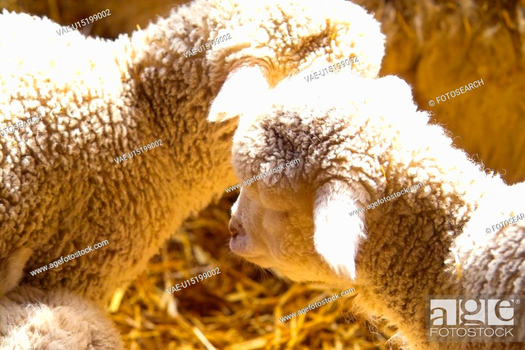 Stock Photo: domestic animal, sheep, land animal, mammal, vertebrate, animal.