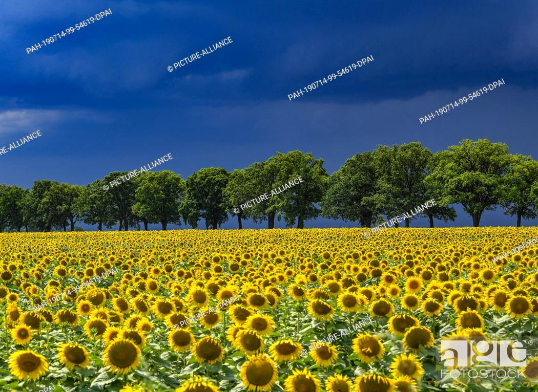 Stock Photo: 13 July 2019, Brandenburg, Petersdorf: Thunderstorm clouds are streaming across the landscape with a field of sunflowers in the Oder-Spree district.