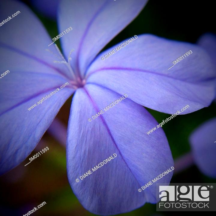 Stock Photo: Close up of a plumbago flower with focus on the stamens.