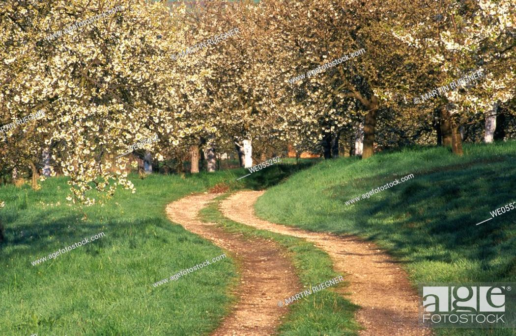 Stock Photo: Path through orchard in april. Franconian Switzerland, Bavaria, Germany.