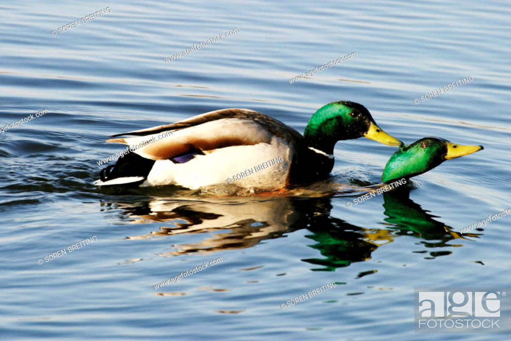 Stock Photo: One male Mallard (Anas platyrhynchos) is biting another male mallard and hold it under water in a lake in early breeding time (spring).