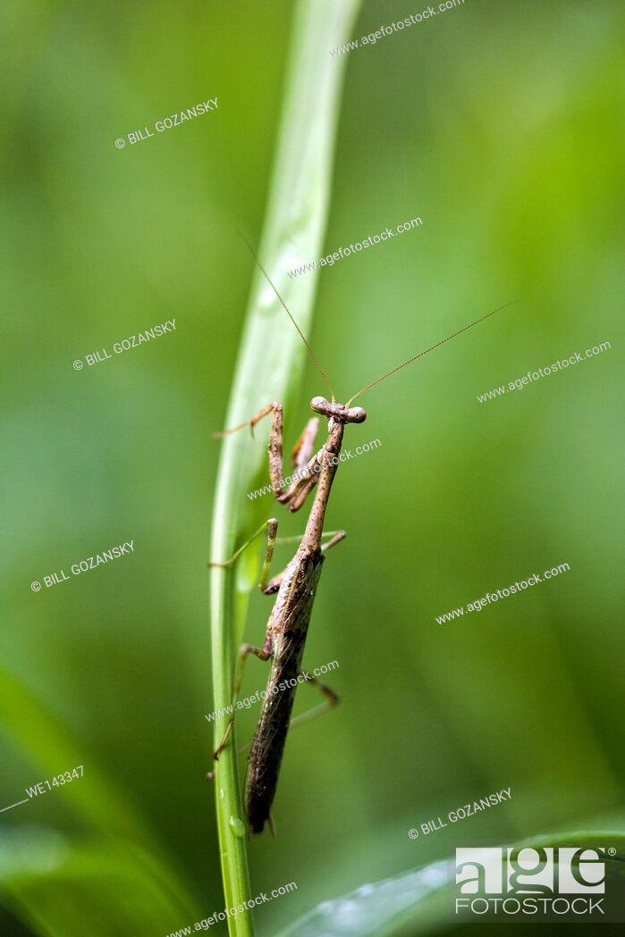 Stock Photo: Carolina mantis   Praying Mantis (Stagmomantis carolina) - Camp Lula Sams, Brownsville, Texas, USA.