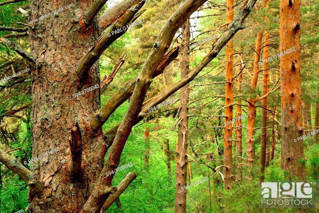 Imagen: Canencia pine wood, Madrid province, Spain.