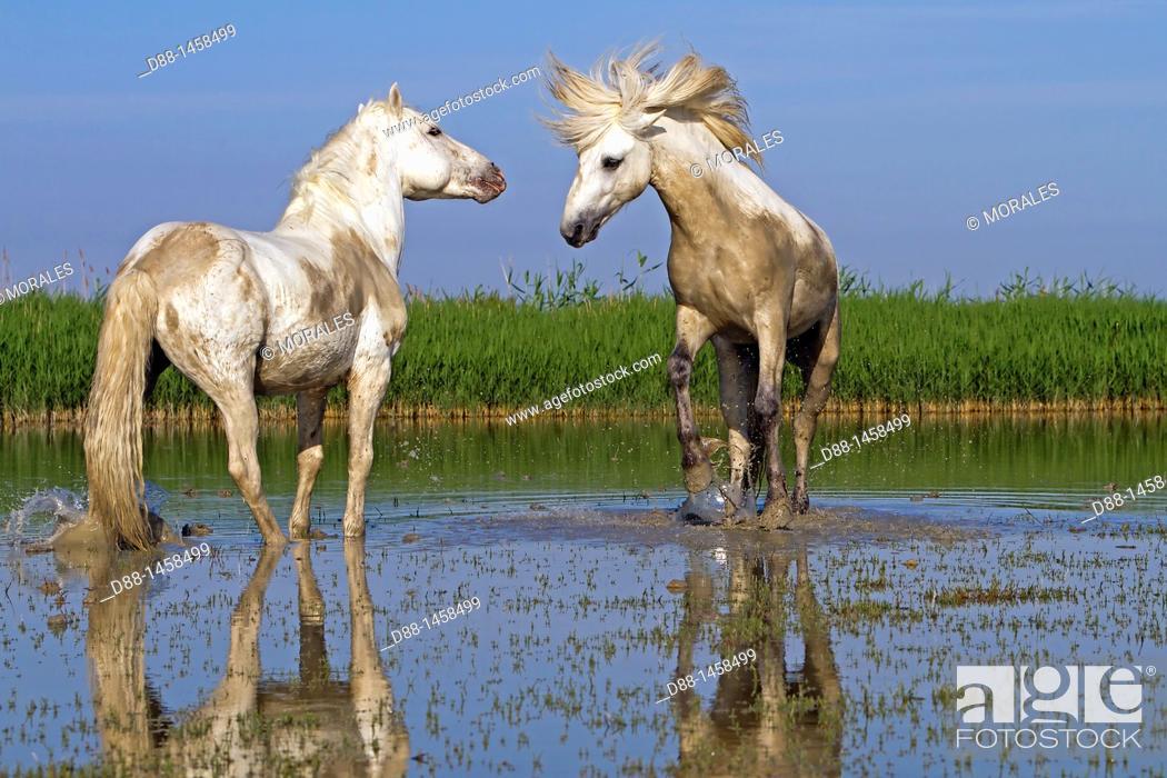 Stock Photo: France, Bouches du Rhone, Natural Regional Park of Camargue , Saintes Maries de la Mer, Camargue horse.