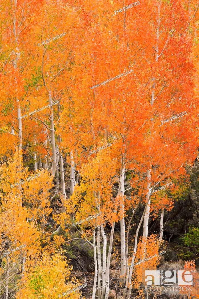 Stock Photo: Fall color along Bishop Creek, Inyo National Forest, Sierra Nevada Mountains, California USA.